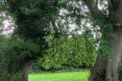 Emain Macha Trees